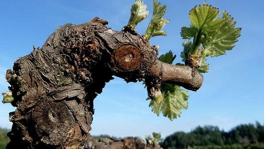 Gnarled old vine