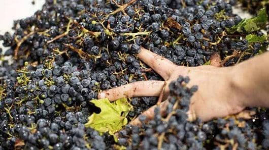 grape sorting