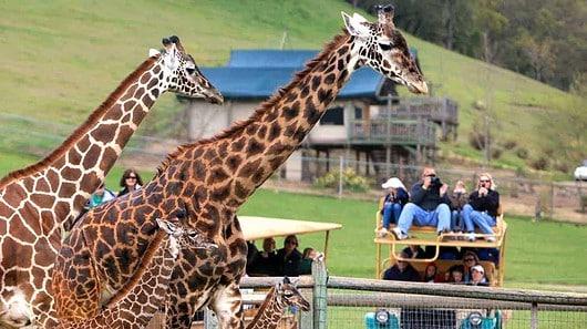 Giraffes looking at people